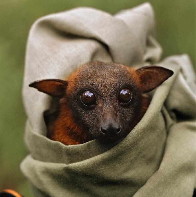 Хэллоуин еще некончился: лучшие фотографии летучих мышей отNatGeo | Канобу - Изображение 4697